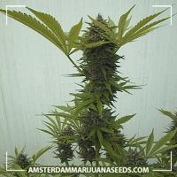 image of Afghan marijuana plant