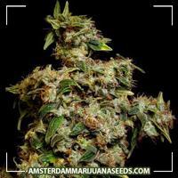 image of Amnesia Trance Feminized marijuana plant