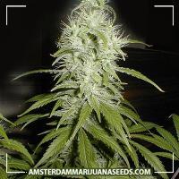 image of Amsterdam Indica marijuana plant