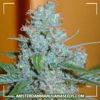 image of Aussie blues marijuana plant