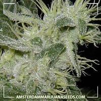 image of Bianca marijuana plant