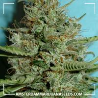image of Bonita marijuana plant