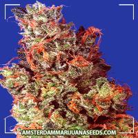 image of Caramelicious marijuana plant