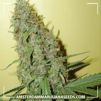 image of Cheese marijuana plant