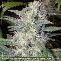 image of Citral marijuana plant