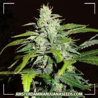 image of Ganja Dwarf Auto feminized marijuana plant