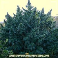 image of Happy outdoor mix marijuana plant