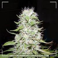 image of Hawaii Skunk marijuana plant