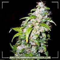 image of Haze marijuana plant