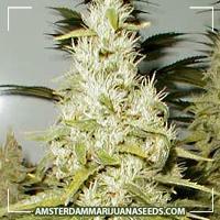 image of JamaiCanna (new) marijuana plant