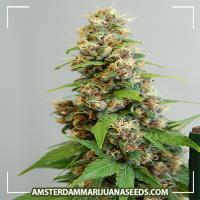 image of Le Fruit Defendu Feminized marijuana plant