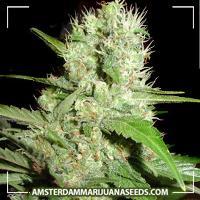 image of Lemon ice marijuana plant
