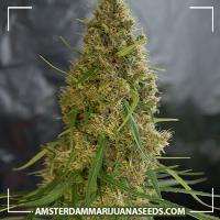 image of Light of Jah marijuana plant