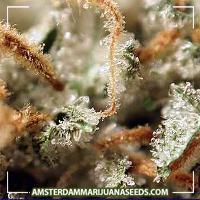 image of Medijuana marijuana plant