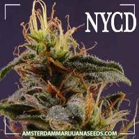 image of New York Diesel marijuana plant
