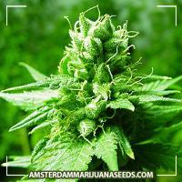 image of Northern Light marijuana plant