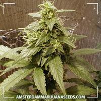 image of Shiva Shanti marijuana plant