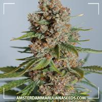 image of Supernova a.k.a. Chronic marijuana plant
