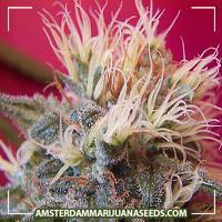 image of Super Skunk marijuana plant