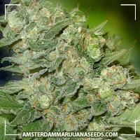 image of TropiCanna marijuana plant
