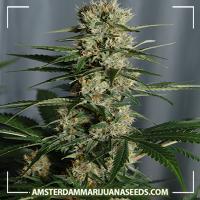 image of White Queen marijuana plant