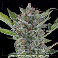 image of White Widow XTRM  Feminized marijuana plant