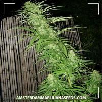 image of Yoruba Nigeria marijuana plant