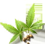 image of marijuana leafs