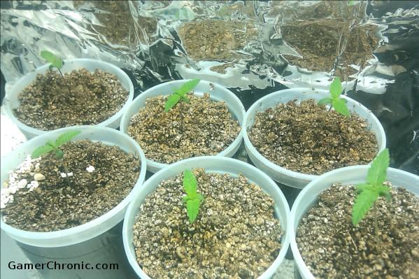 SS Seeds from Marijuana Seed Shop