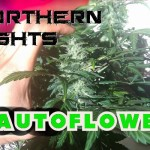 Northern Lights Strain (Auto) |LED - Video Grow Montage